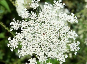 queen-anne-lace-1304348117EPL
