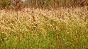 stock-footage-barnyard-grass-blowing-in-wind