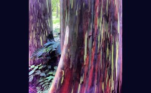 Rainbow-Eucalyptus-shed-patches-of-bark-at-different-times-throughout-the-year