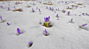 stock-footage-steady-cam-spring-shoot-of-saffron-blossoms-on-white-winter-snow-fly-over-meadow-of-spring-flowers