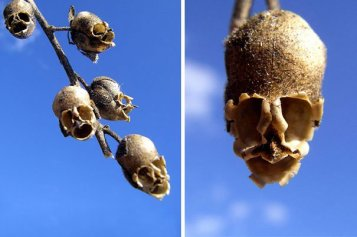 flowers-look-like-animals-people-monkeys-orchids-pareidolia-34