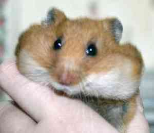 teddy-bear-hamster-0051