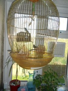zebra-finch-for-sale-with-cage-532468d427216