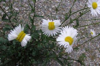 fukushima-mutant-flowers-deformed-daisies