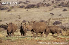Group-of-southern-white-rhinoceros