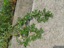 purslane-and-sidewalk
