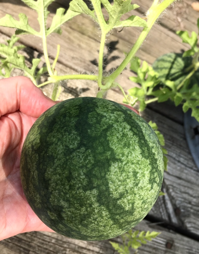 watermeloninhand2017